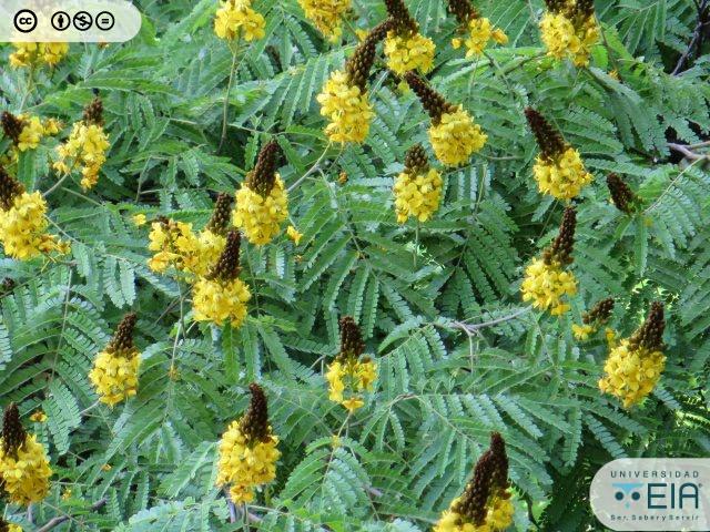 Acacia Amarilla Caesalpinia Pluviosa