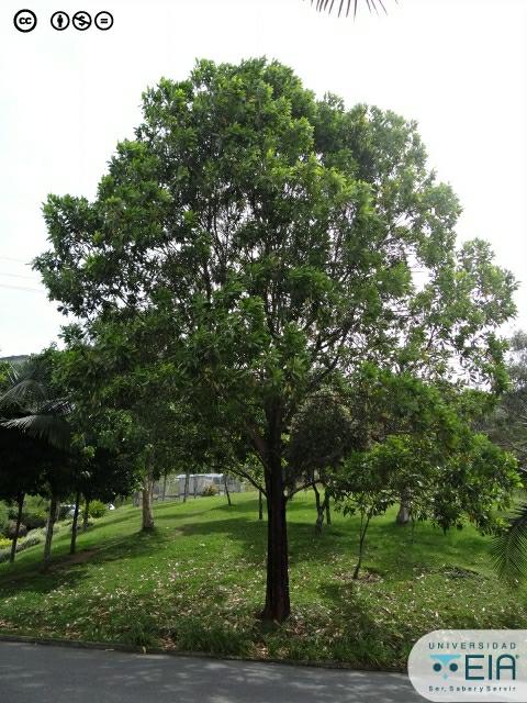 Acacia Mangium Acacia Mangium